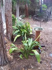 Cast Iron Plant/Aspidistra elatior - 2
