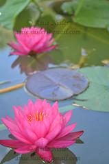 DSC_0225 (AmieNis) Tags: austin texas waterlilies lilypond mayfieldpark