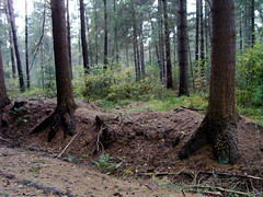 Waldbeine (Sigi09) Tags: herbst kiefer wald wildenloh baumfse