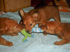 Hunde - 56 (Manfred Lentz) Tags: pets dogs puppy pups puppies hunde littledogs welpen hndchen babydogs whelps