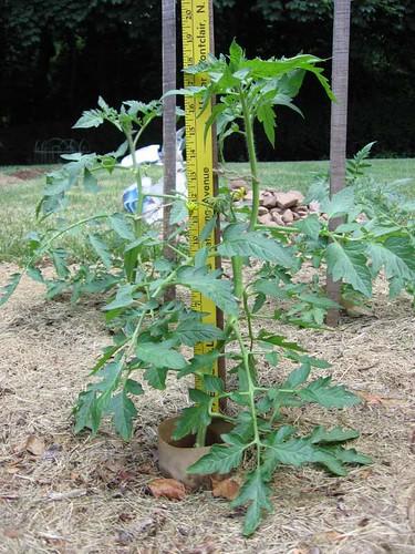 Big 'Celebrity' tomato plant
