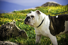 Mountain Dog! (for the day) (tappit_01) Tags: dog mountain heidi canine bulldog puck englishbulldog 14er porter mtevans portstar impressedbeauty