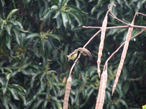 Sunbird mother feeding baby