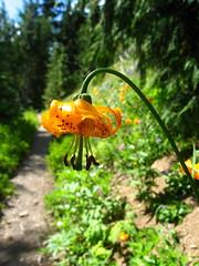 tiger lily - by Sean Munson
