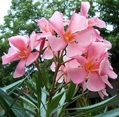 Bels tz / Inner Fire (ssshiny) Tags: pink flower virg leander rzsaszn flowerpicturesnolimits