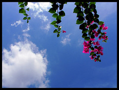 BougainVilla (Midhun Manmadhan) Tags: life flowers sky clouds relax leisure carefree chillout bogainvilla