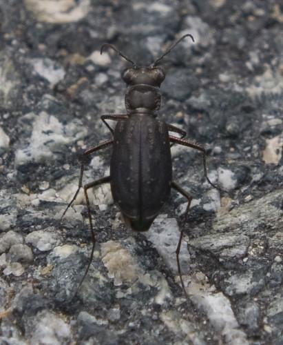 Punctured Tiger Beetle