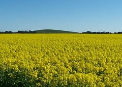Fields of Conola near Lawrence via Smeaton (spacountry) Tags: flowers yellow spring farm crop fields feed paddocks spacountry conola