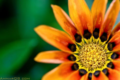 I've Got The SuN (Ammar Alothman) Tags: flowers orange flower color macro green colors rose yellow morocco maroc kuwait ammar kw 2007 rabat q8  canon30d  vwc canonef100mmf28macrousm ammaralothman  kuwaitiphotographer ammarq8 ammarphotography kvwc kuwaitvoluntaryworkcenter  kuwaitvwc