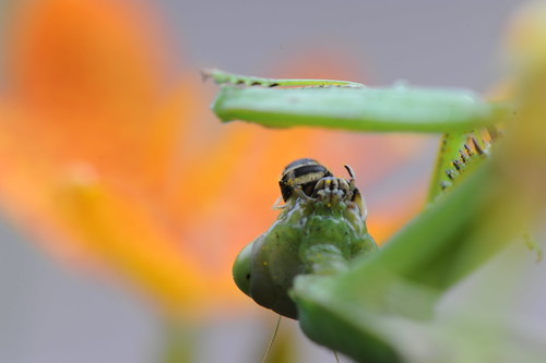 螳螂捕蝶 076