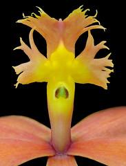 Epidendrum Cultivar #2