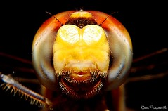 Face to Face! (FLASH MEDIA CREATIONS) Tags: pictures wild india macro nature birds animals closeup advertising photography fly amazing interesting nikon dragonfly pics fashionphotography wildlife moth creative insects micro ram hopper tamilnadu coimbatore designing professionalphotography foodphotography cbe productphotography prasanth fmc industrialphotography advertisingphotography ramprasanth jewelleryphotography photographycompany jaint designinglogo flashmediacreations productphotographyincoimbatore industrialphotographyincoimbatore professionalphotographysolutions photographyprintinglogo coimbatoreweb ramprasanthphotography