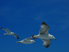 Seagulls (Alexandru Pop) Tags: vacation seagulls detail macro bird birds closeup seagull greece athos mountathos blueribbonwinner pescarusi detaliu fujifilmfinepixs6500fd theunforgettablepictures fujifilmfinepixs6000fd fujifilmfinepixs6000fds6500fd mountathoscruise fujifinepixs6500fds6000fdjoinnow perscarus goldstaraward