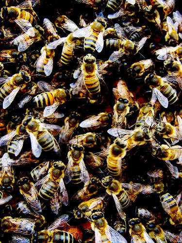 Dark bees