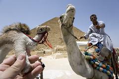74_camel_4331 (michael_hughes) Tags: sphinx set pen paper souvenirs michael candle pyramid egypt cairo camel website karnak luxor weight hughes updated supershot michaelhughes wwwhughesphotographyeu