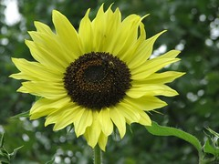 2007's first sunflower