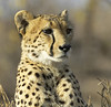 Cheetah Portrait (Lyndon Firman) Tags: africa canon southafrica bravo safari cheetah malamala sabisabi specanimal animalkingdomelite abigfave impressedbeauty irresistiblebeauty