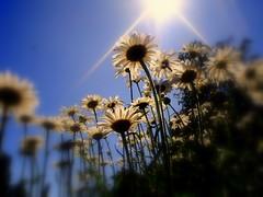 ~~ Summer Sizzler ~~ (suesue2) Tags: flowers blue sky sun hot sunshine daisies michigan suesue2 amazingmich artlibre diamondclassphotographer