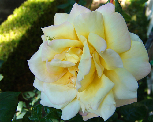 Pale Yellow Garden Rose With Bug