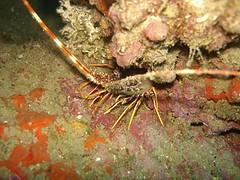 buceo06112rd9.jpg (coismarbella) Tags: crustaceos