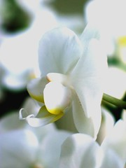 Orchid (Natasja ❤) Tags: white house plant orchid flower home netherlands whiteflower orchidee top20white top20everlasting