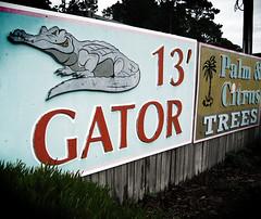 13' Gator