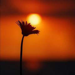 moment to moment (DocTony Photography) Tags: ocean pink sunset sea sun plant flower macro nature bay twilight flora nikon bravo searchthebest blossom philippines gerbera manila bloom manilabay soe themoulinrouge magicdonkey d80 mywinners infinestyle doctony todaysbestaward