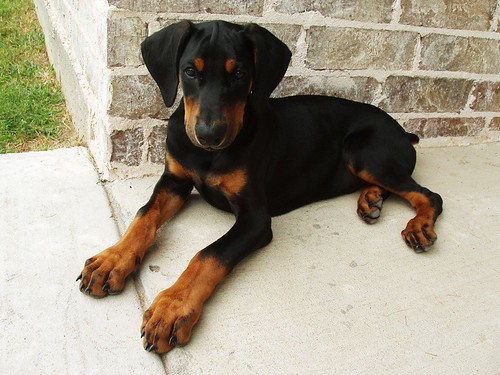 Pretty Doberman Puppy