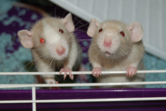 Bob and Roger (KristyR929) Tags: pet rat dumbo bob rats roger