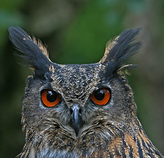 Eagle-owl 2 - Uhu 2 (pe_ha45) Tags: nature bravo owl raptors owls birdsofprey uhu birdwatcher eagleowl eule eulen specanimal animalkingdomelite abigfave canon400d aplusphoto superbmasterpiece avianexcellence ishflickr natureoutpost greifvogelgehegebispingen platinumheardaward rememberthatmomentlevel4 rememberthatmomentlevel1 rememberthatmomentlevel2 rememberthatmomentlevel3 rememberthatmomentlevel5 rememberthatmomentlevel6
