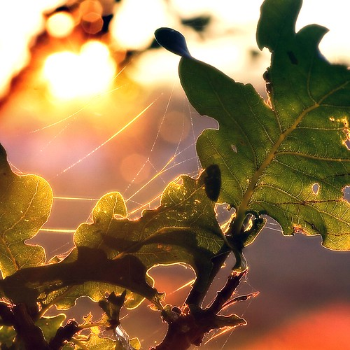 Oak tree October sunset