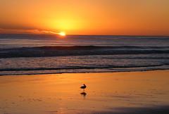 Natures Gold (blue foot) Tags: ocean beach nature water sunrise reflections sand waves seagull australia supershot the4elements abigfave betterthangood goldstaraward ilovemypics