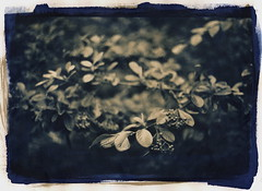 Cotoneaster (efo) Tags: shrub cyanotype gumbichromate bicolor viburnum altprocess alternativeprocesses