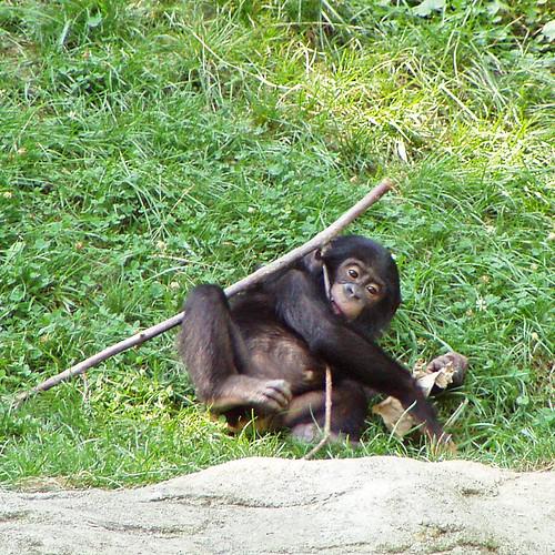 Bonobo baby entertains himself