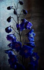 Beautiful Blue (Tarlyn) Tags: blue flower beautiful painting textures vignette blending artlibre