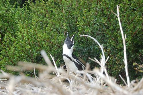 PenguincallingfromNest