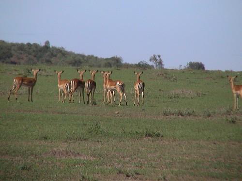 Mara Antelopes Looking the Other Way