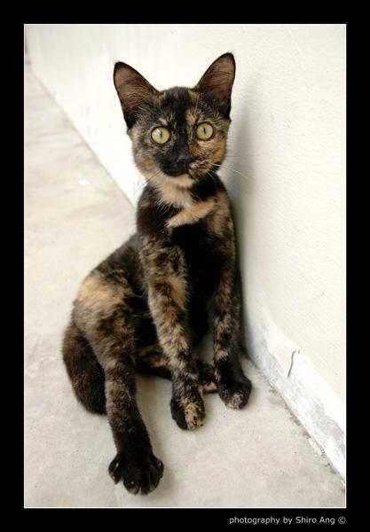 black tortie shell cat