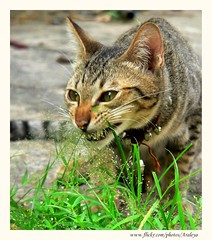 His Medicine (Araleya) Tags: life leica pet pets home grass animals cat garden thailand fz20 kitten funny kitty panasonic diet coolest heal nonthaburi araleya mysecretgarden supermasterpiece mdecine