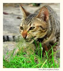 His Medicine (Araleya) Tags: life leica pet pets home grass animals cat garden thailand fz20 kitten funny kitty panasonic diet coolest heal nonthaburi araleya mysecretgarden supermasterpiece mdecine