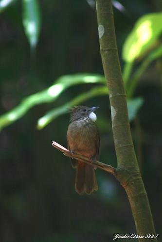 Ochraceous Bulbul (Criniger ochraceus)