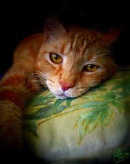 Copy of Here on my pillow Portrait (Chris C. Crowley) Tags: cats pets animals priceless oneofakind digitalart pillow photoart squeegee petportraits thebeesknees americaamerica impressedbeauty onlythebestare