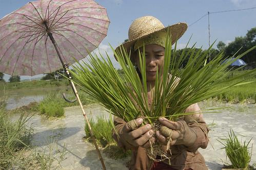 Philippines,Pinoy,Life,city,rural Sison, Pangasinan farm farming farmer workers rice seedling woman