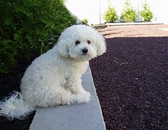 Garden Wall (scottnj) Tags: dog white cute wall garden puppy fluffy ripley bichon bichonfrise doggy iluvmydog 10faves abigfave petscommunity scottnj