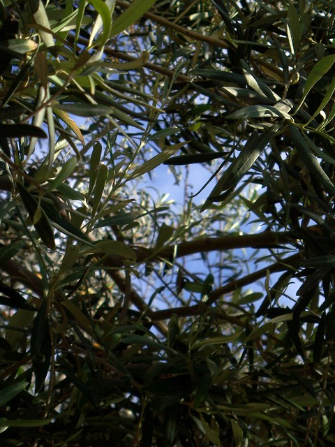 Russian Olive Tree - Trees, Plants, Bushes, and Shrubs offered by