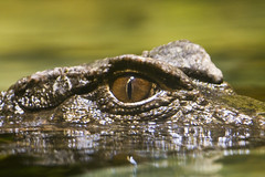 "Croc eye • <a style=""font-size:0.8em;"" href=""http://www.flickr.com/photos/30765416@N06/4592339693/"" target=""_blank"">View on Flickr</a>"