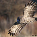 Great Gray Owl InFlight