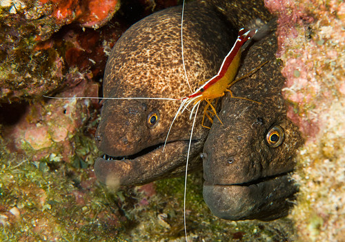 Yellowmargin Morays & Flameback Shrimp
