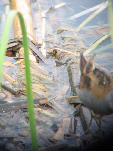 Little Crake walking out of shot