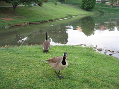 Angry Goose (Ben_M.) Tags: geese mad canadagoose angy